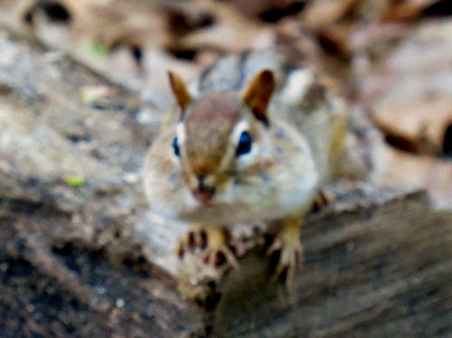 chipmunk with stuffed cheeks