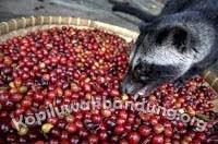 gambar proses luwak makan biji kopi merah 2016