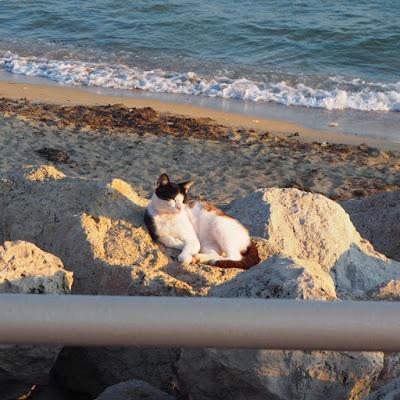 gatos-europeos-residentes-espana