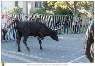 Corsa camarghese toro pronto a caricare