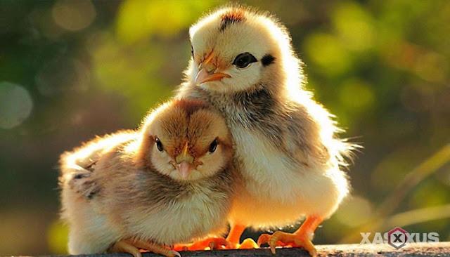 13 Ciri Ciri Ayam Jantan dan Betina Beserta Penjelasannya