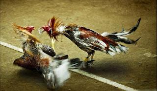 agen-sabung-ayam-terbesar-dan-terpercaya