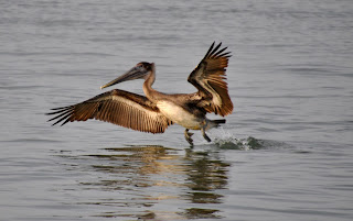 Brown pelican starting to fly off