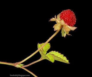 http://fotobabij.blogspot.com/2015/04/poziomkowka-indyjska-owoc-duchesnea.html