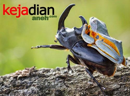 Foto Kodok Sambas Menunggang Kumbang