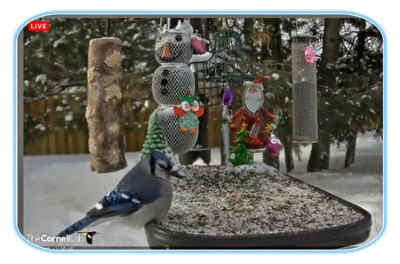 Curiosity for Birds  Live Bird Feeders   as it happens  A Cornell Lab Bird Feeder in Ontario  Canada This bird cam is in an  excellent northern site that provide much winter data for the study of birds  at Cornell