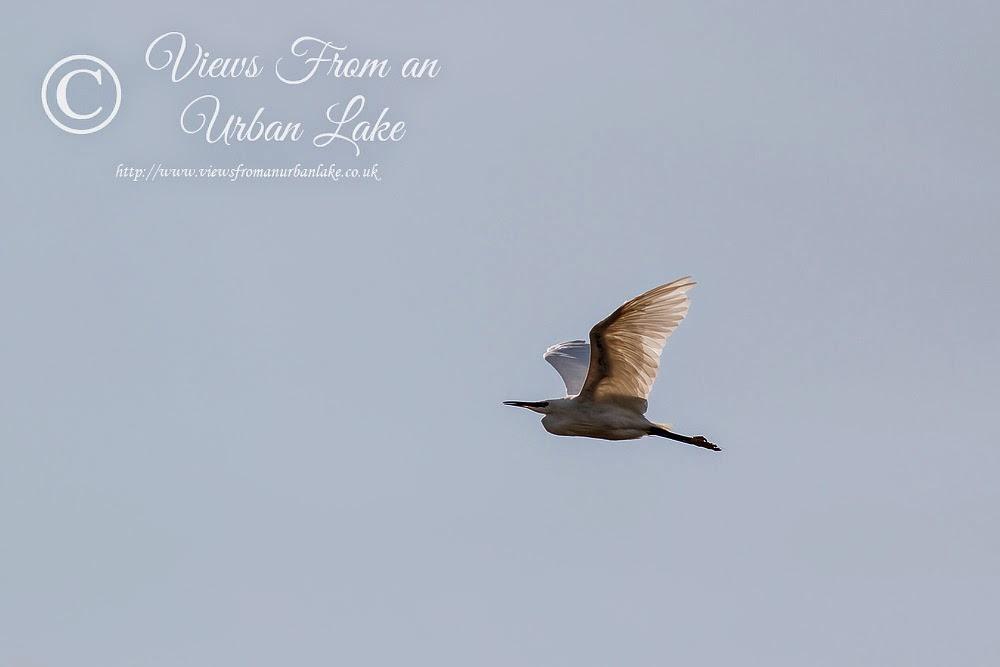 Little Egret in Flight - Manor Farm, Milton Keynes