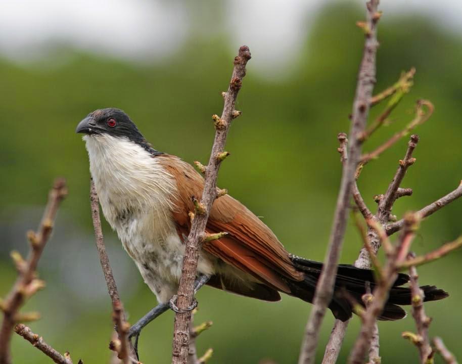Cucal monje: Centropus monachus