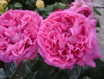 Rosa Cettifolia