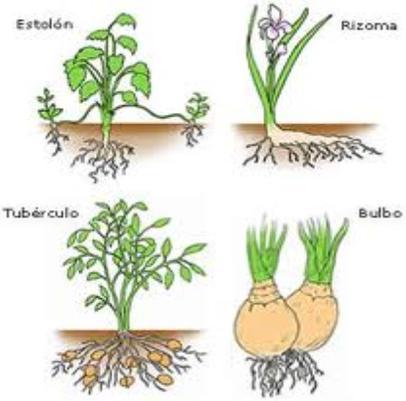 Imagen de reproduccion asexual en plantas se