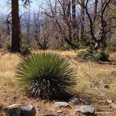 Hesperoyucca whipplei  (chaparral yucca)