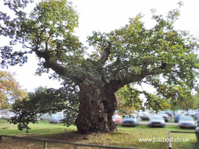 Ancient Oak, Castle Howard Car Park, North Yorkshire