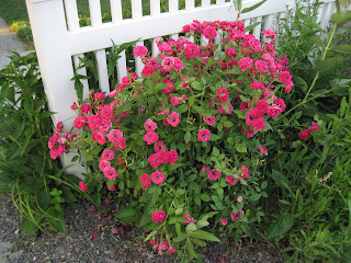 Rose-bush with deep pink flowers.