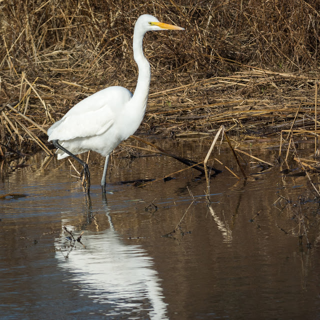 Great Egret, Hagerman National Wildlife Refuge