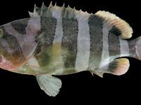 Penemuan Ikan Spesies Baru dari Hasil Tangkapan Nelayan