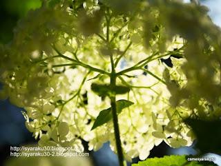白い紫陽花(アナベル)の写真