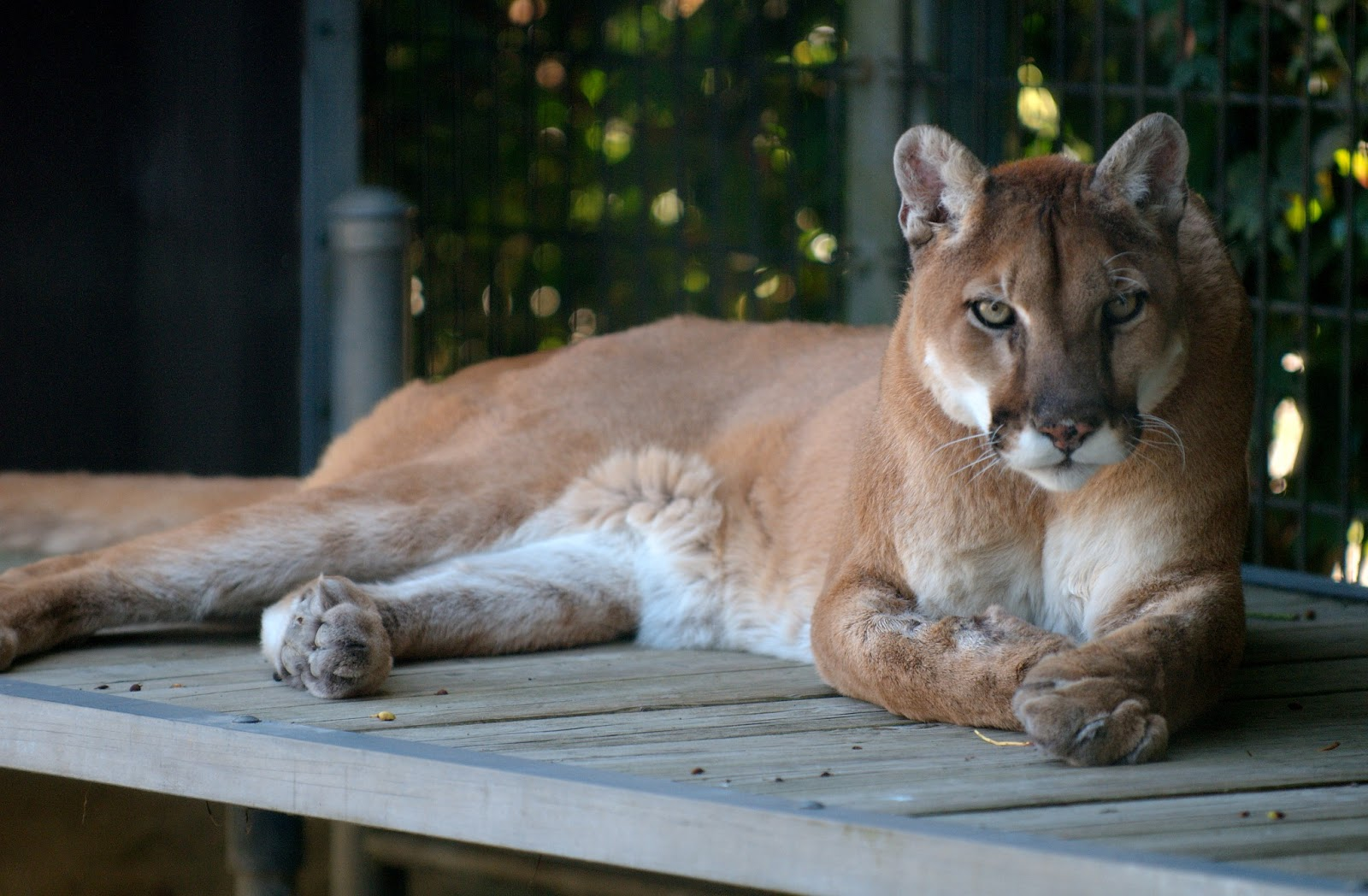 the cougar interesting wild animal fact pictures animals lover. Black Bedroom Furniture Sets. Home Design Ideas