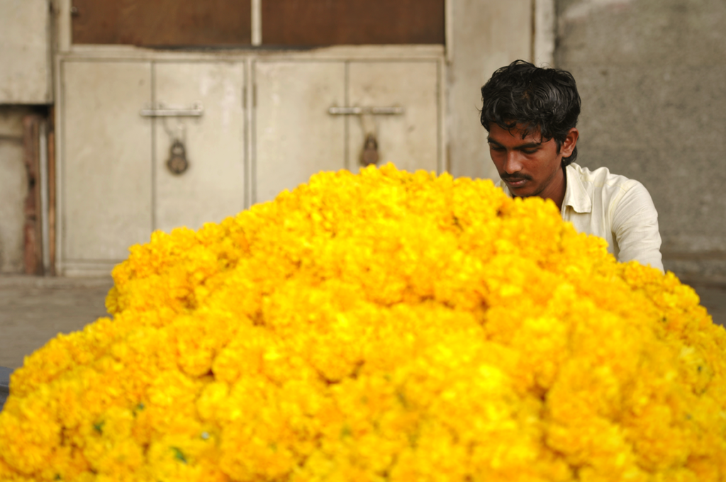 An Indian man is working with marigold flowers in Kala Ghoda in Mumbai.