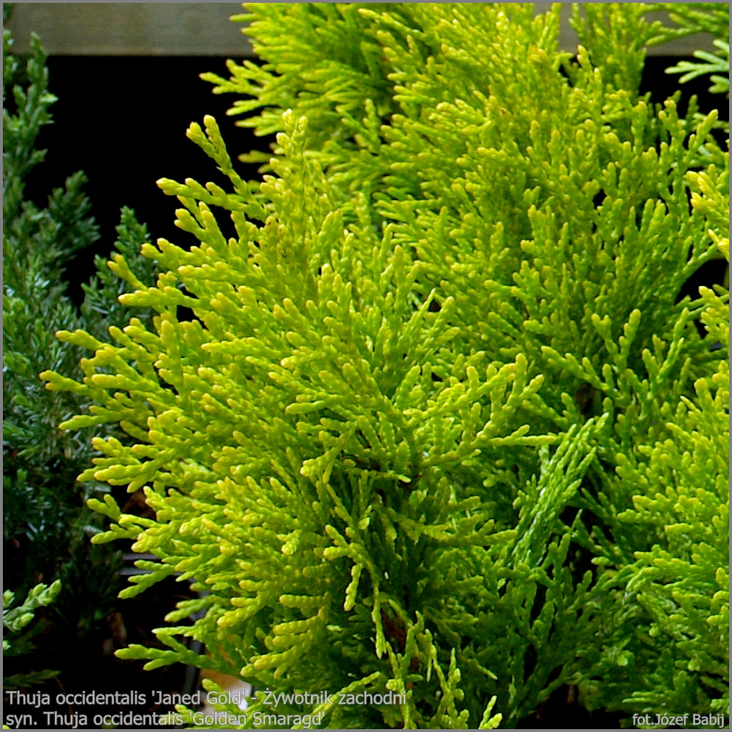 plant gallery encyklopedia ro lin thuja occidentalis 39 janed gold 39 syn thuja occidentalis. Black Bedroom Furniture Sets. Home Design Ideas