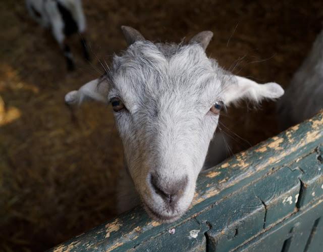 Naturgenuss pur: Der Tierpark Arche Warder. Viele seltene Schaf- und Ziegenarten leben in der Arche Warder, auch der Tier-Nachwuchs.