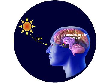 que hace solfa syllable melatonina linear unit el cerebro