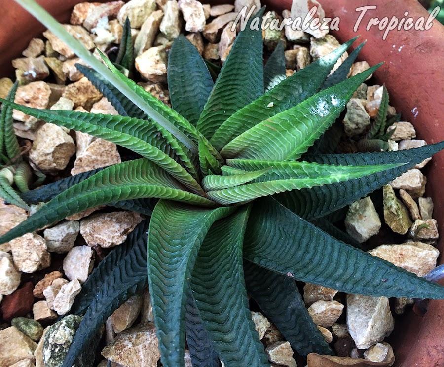 La planta Piel de Cocodrilo, Haworthia limifolia