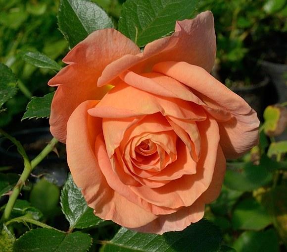 Bengali сорт розы Кордес фото купить саженцы Минск