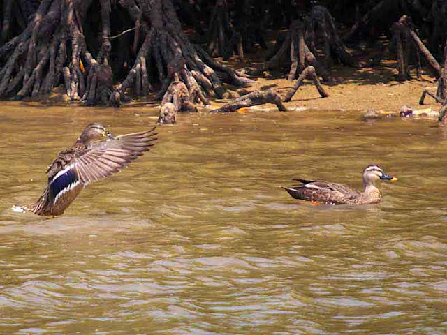 birds, ducks, Eastern Spot-billed Duck, Okinawa, Wildlife