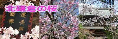 北鎌倉の桜