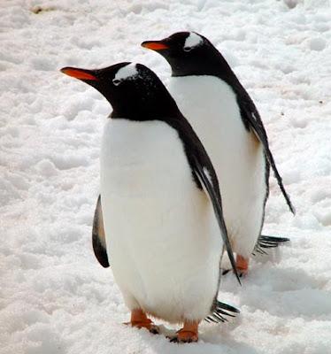 La Chachipedia: Los Pingüinos