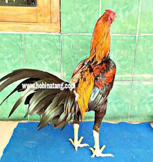 Jenis Ayam Bangkok Wiring