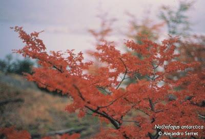 árboles del sur argentino Ñire Nothofagus antarctica