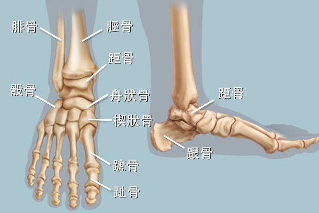 腳踝 腓骨 脛骨 距骨 舟狀骨 跟骨