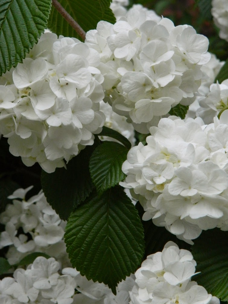 Viburnum plicatum Popcorn doublefile viburnum blooms by garden muses-not another Toronto gardening blog