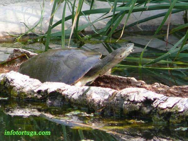 Phrynops hilarii en un estanque exterior