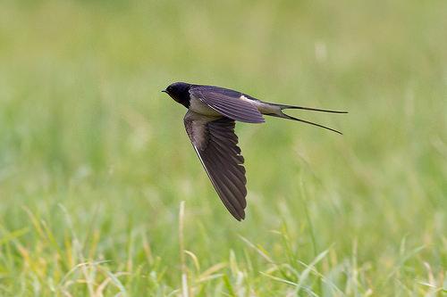 andoriña voando baixo sobre un prado