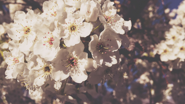 Spring blossoms wallpaper download