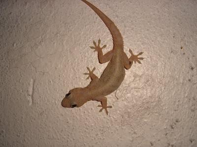 Resultado de imagem para lagartixa na parede