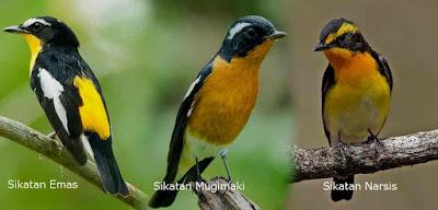 3 Jenis Burung Sikatan Dengan Warna Bulu Yang Mirip