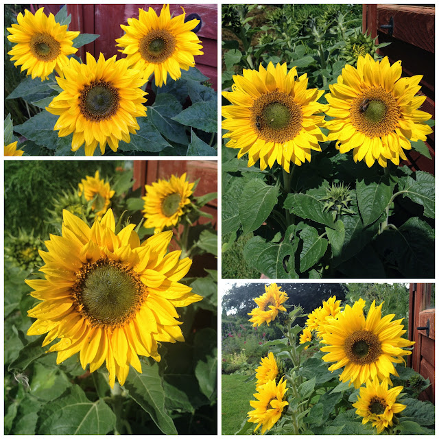 Dwarf Sunflowers Little Leo variety