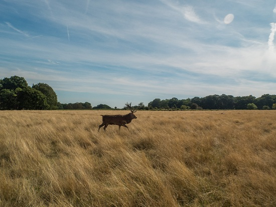 stag at Richmond Park