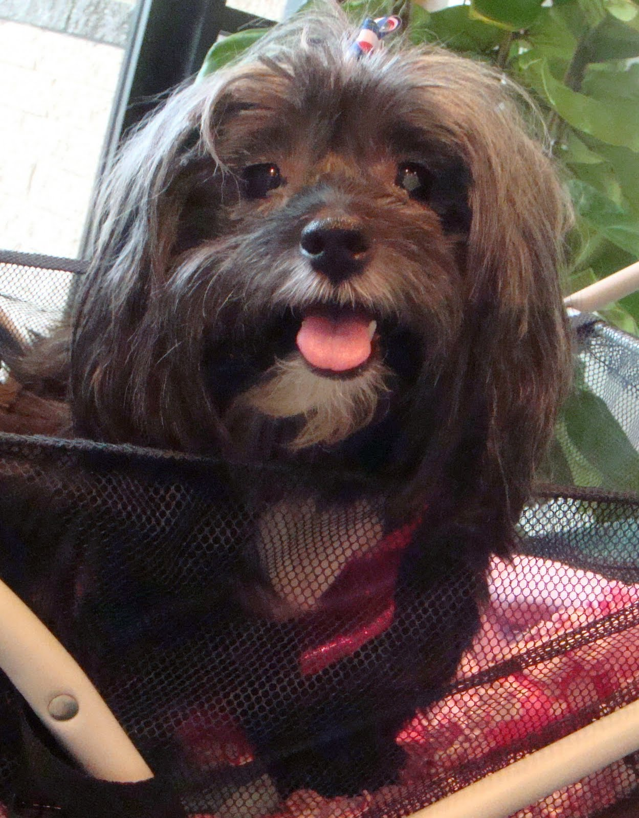 To Dog With Love: Havanese Rescue: Meet Sweet Tula