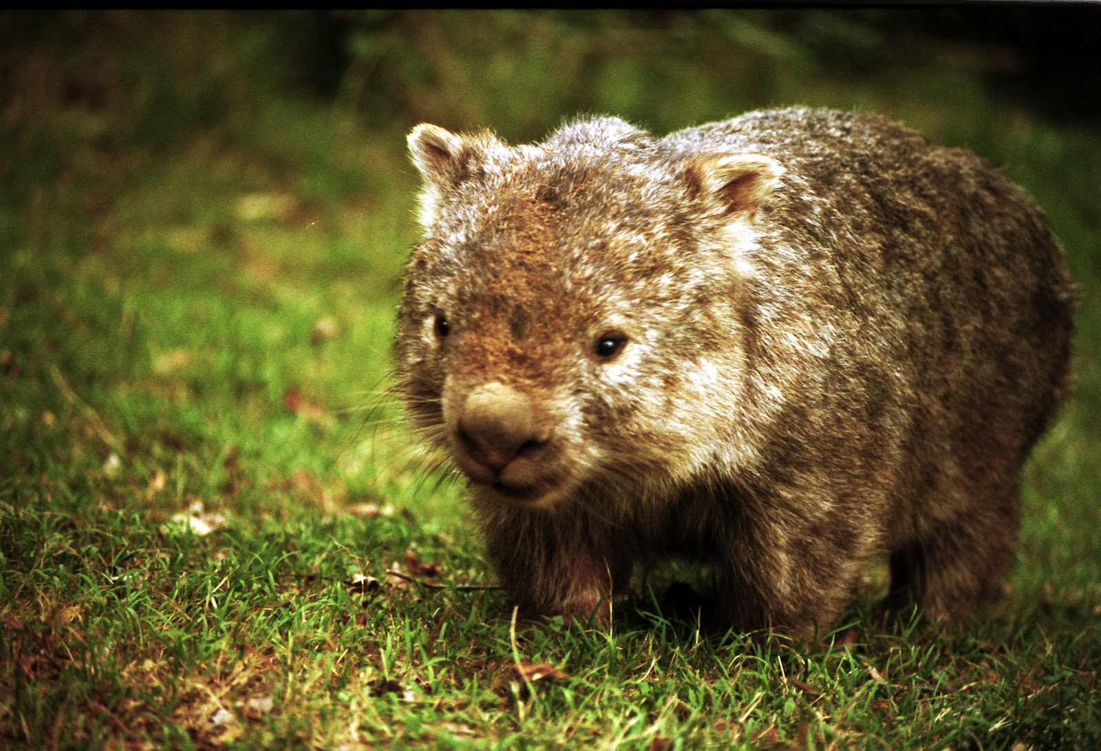 cute wombat pictures