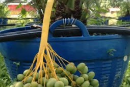planting kurma fruits in Indonesia is not easy