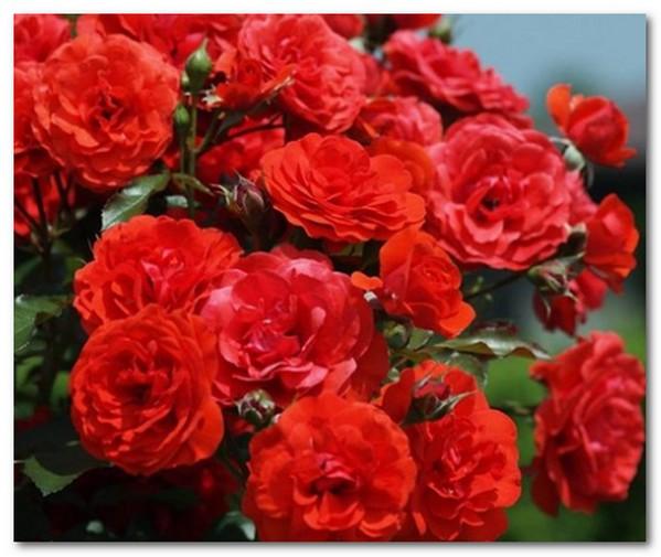 Bunga mawar merah cantik Gambar Wallpaper