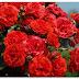 Bunga Mawar Merah Wallpaper