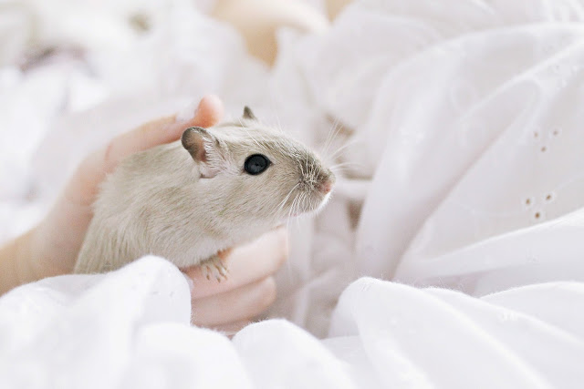 About gerbils pet shabby chic blogger