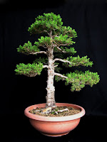 http://evoluzionebonsai.blogspot.it/2012/01/bonsai-di-picea-glauca-albertiana.html