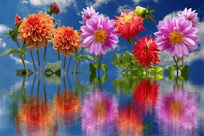 tanaman bunga dahlia