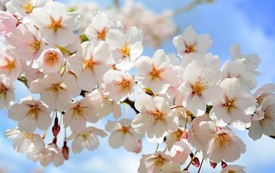 Floração das cerejeiras no Japão